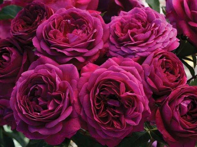 Роза сорта Celestial Night, фото с shopify.com