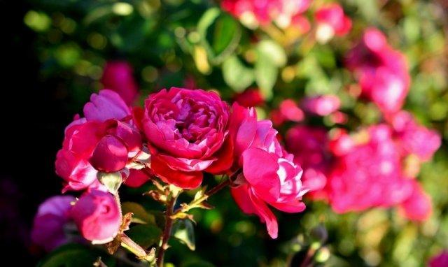 Роза сорта Ксения, фото с rosecatalog.ru
