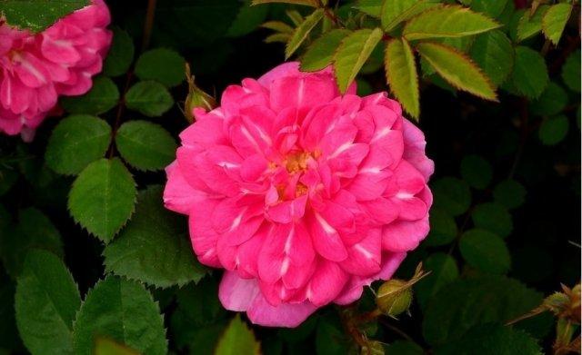 Роза сорта Ирина, фото с rosecatalog.ru