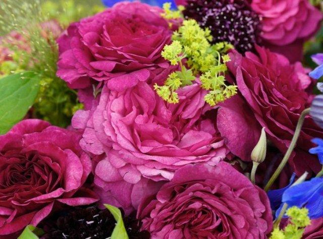 Роза сорта Kaffe Fassett, фото с mpr-vlg.ru
