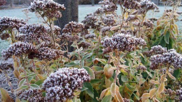 Припорошенный снегом очиток видный Herbstfreude