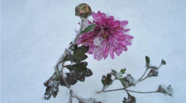 Хризантемы выдерживают мороз до –7°С