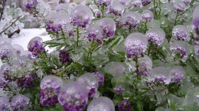 Самый популярный и морозостойкий цветок – многолетний алиссум скальный