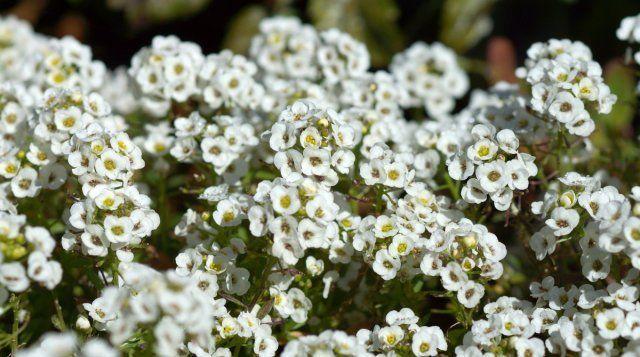 Цветки алиссума источают легкий медовый аромат и привлекают в цветник пчел