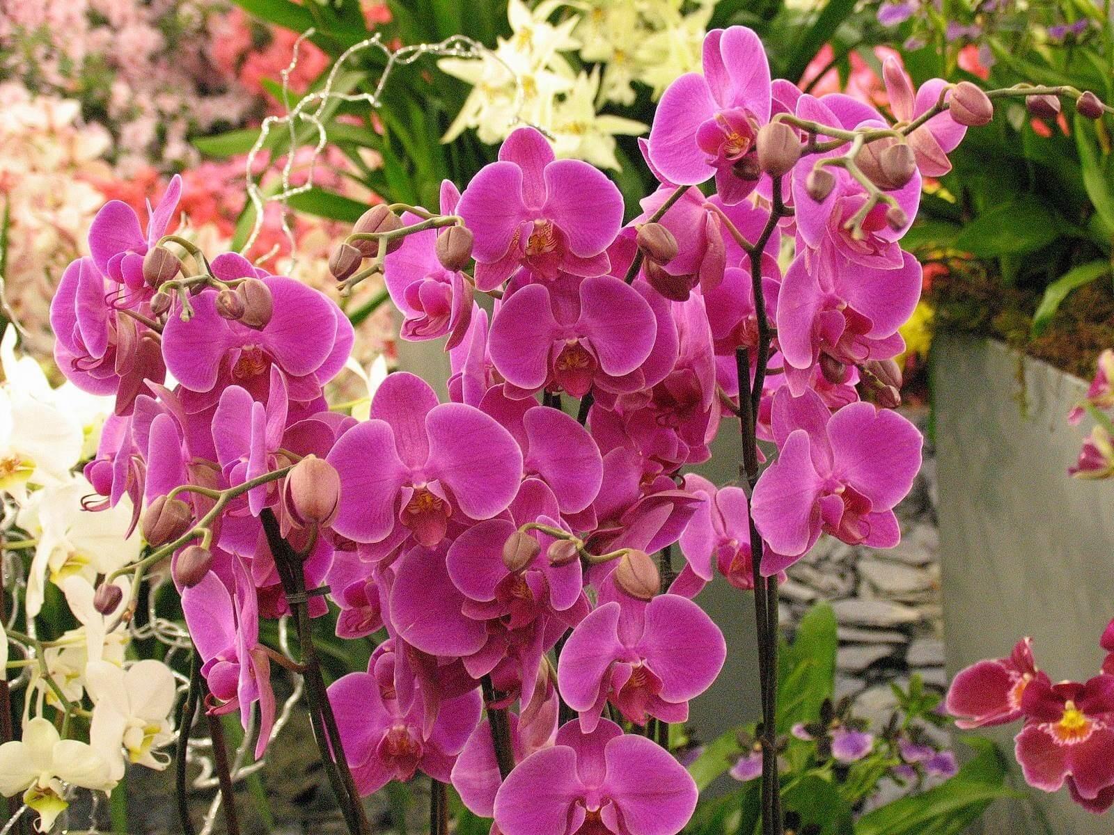 Фото красивой орхидеи фаленопсис в саду