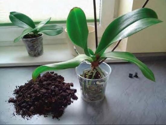 Процесс подготовки горшка для орхидеи фаленопсис