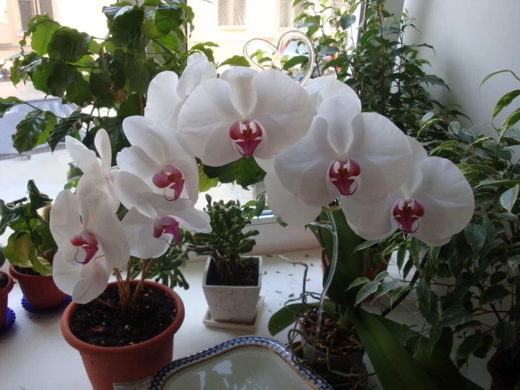 Орхидея Фаленопсис в правильно подобранном горшке с удобрением