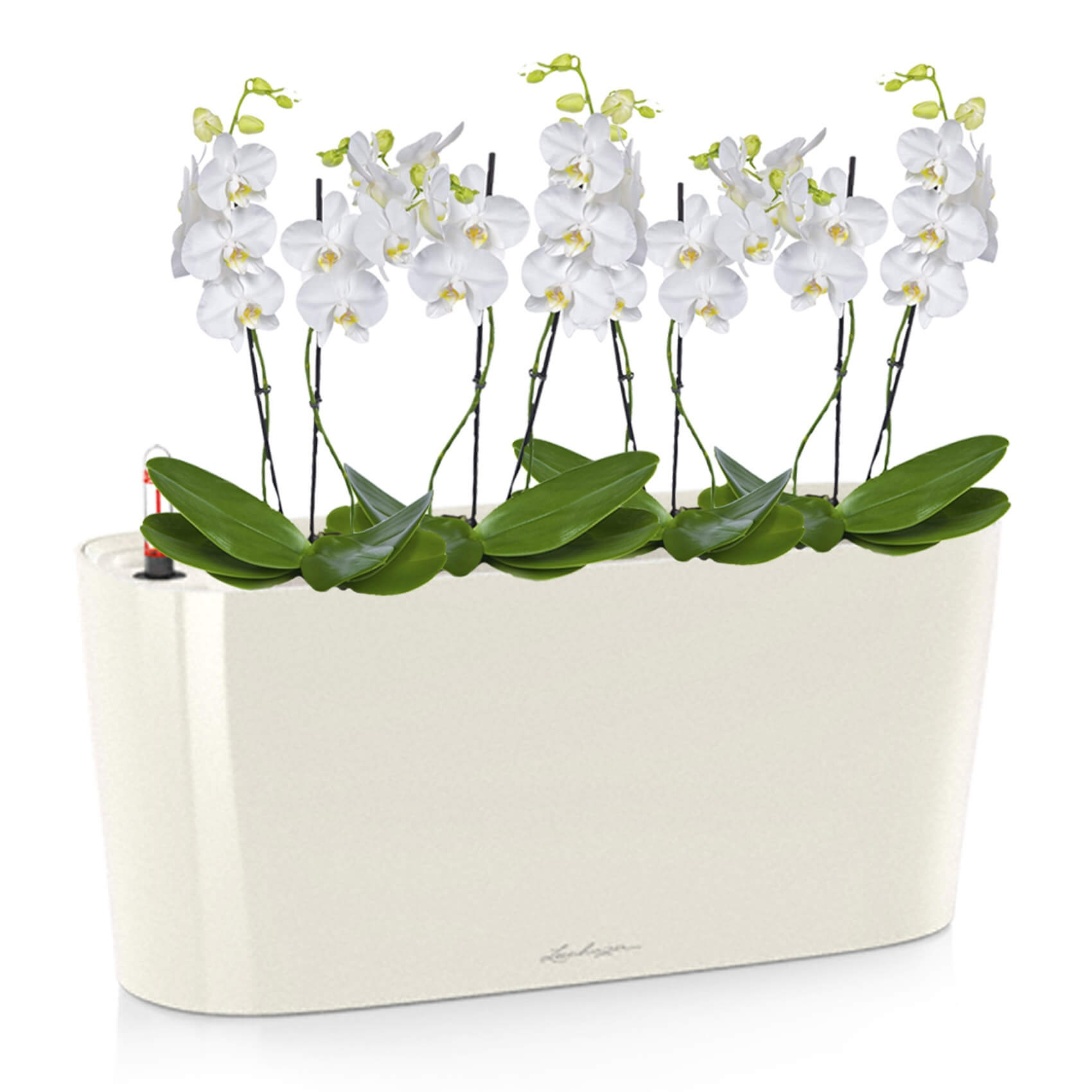 Выращивание орхидеи Фаленопсис на блоках
