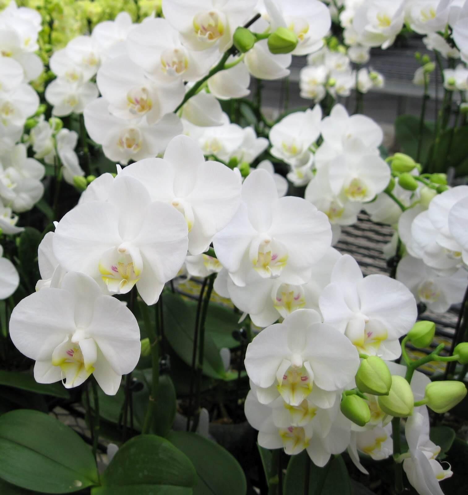 Фото орхидеи Фаленопсис крупным планом