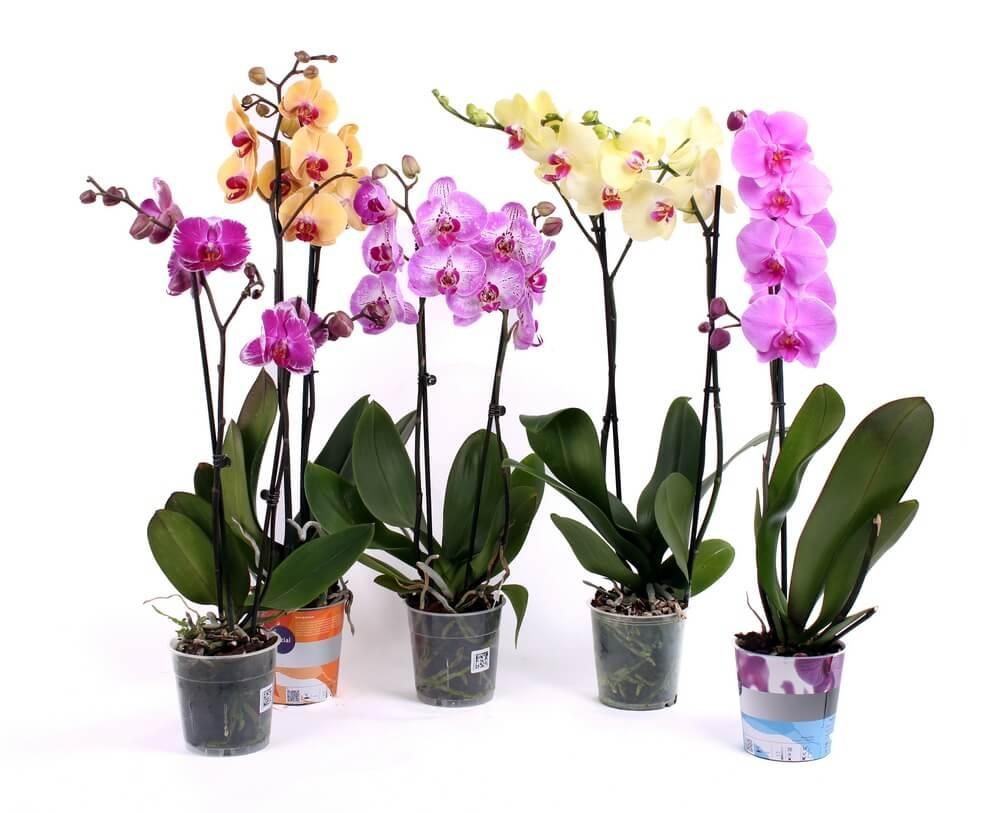 Цветы орхидеи Фаленопсис в горшкас с влажным субстратом