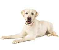 The Labrador Retriever Dog Breed