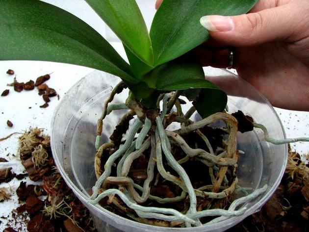 Основные признаки для пересадки орхидеи