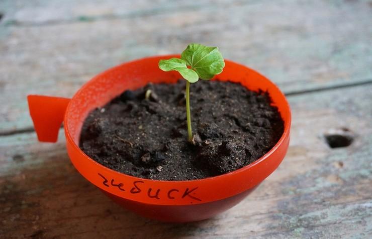 Выращивание гибискуса из семян в домашних условиях