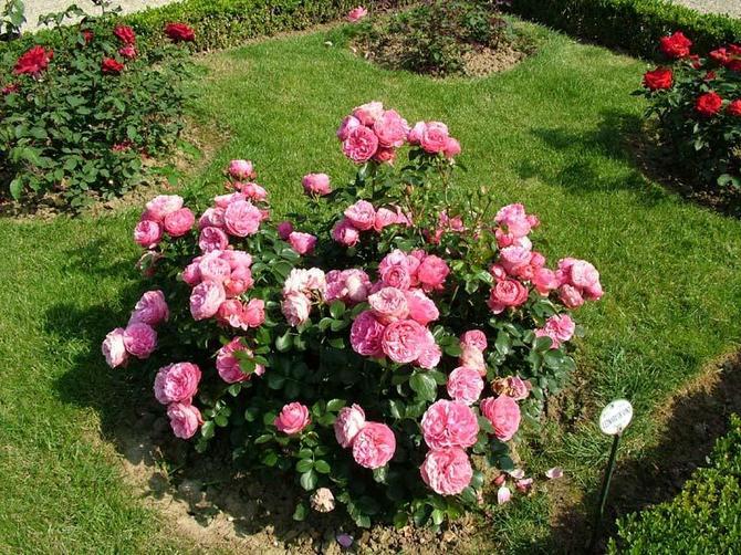 Мини-розы